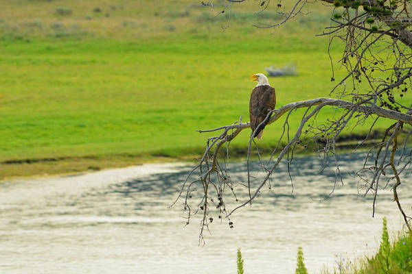 Photograph - Bald Eagle Overlooking Yellowstone River by Greg Norrell
