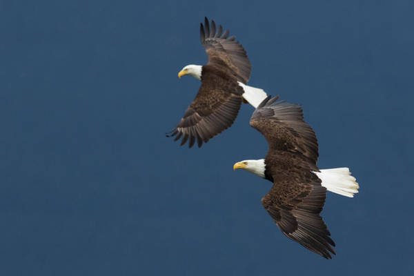 Haliaeetus Leucocephalus Photograph - Bald Eagle Pair Flying by Ken Archer