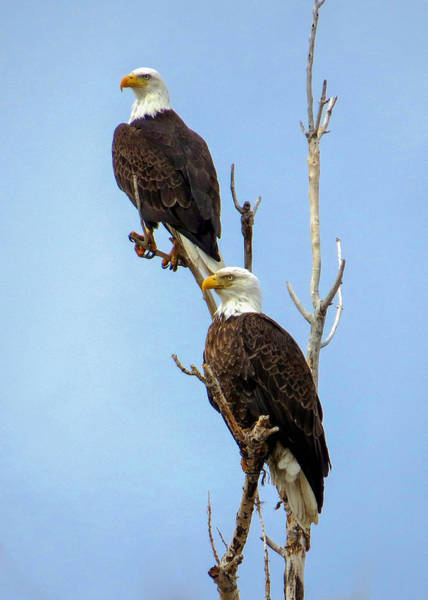 Wall Art - Photograph - Bald Eagle Pair Perched by Dawn Key