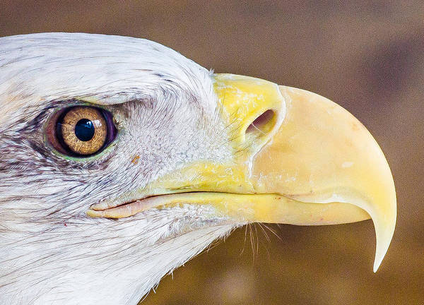 Photograph - Bald Eagle by Pete Hendley
