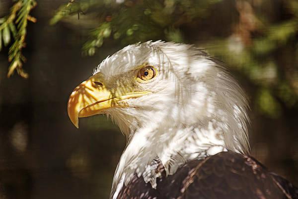 Photograph - Bald Eagle Portrait  by Brian Cross