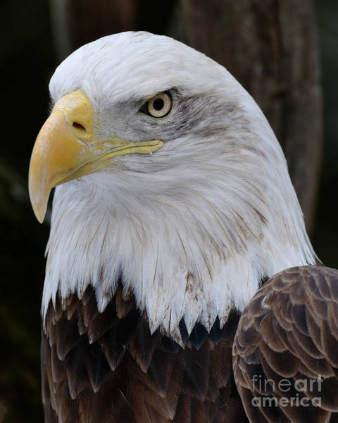 Photograph - Bald Eagle Portrait by Craig Leaper