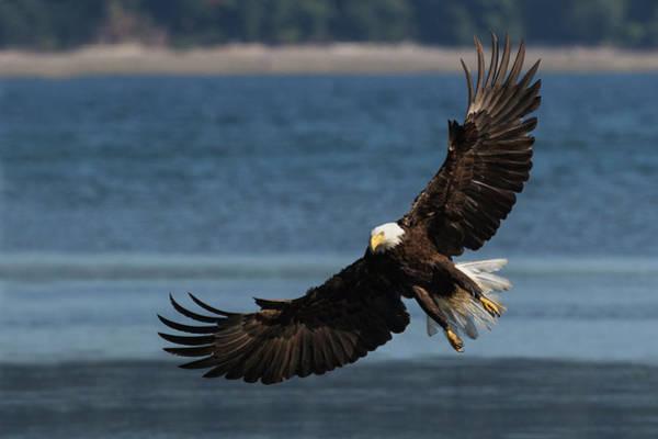 Wall Art - Photograph - Bald Eagle, Preparing To Strike by Ken Archer