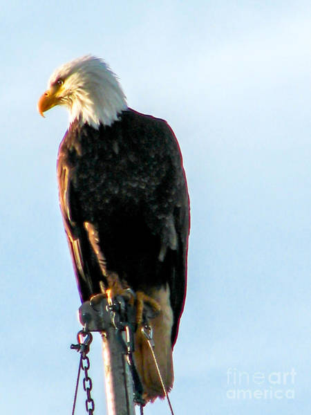 Wall Art - Photograph - Bald Eagle by Robert Bales