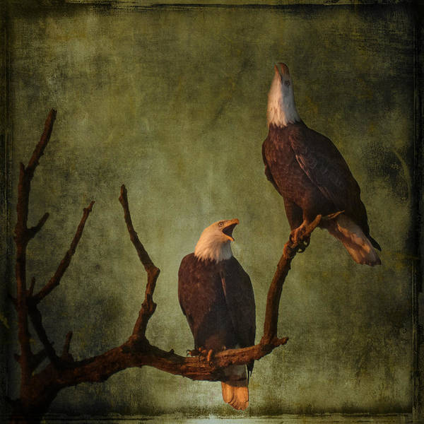 Photograph - Bald Eagle Serenade by Wes and Dotty Weber