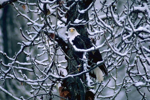 Photograph - Bald Eagle Sitting In A Bare Tree by Art Wolfe