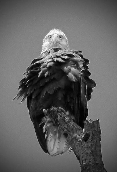 Photograph - Bald Eagle Stare B W by Jemmy Archer