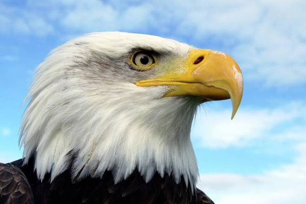 Haliaeetus Leucocephalus Photograph - Bald Eagle by Steve Allen/science Photo Library