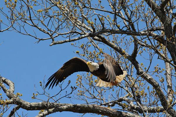 Photograph - Bald Eagle Take Off by Jai Johnson