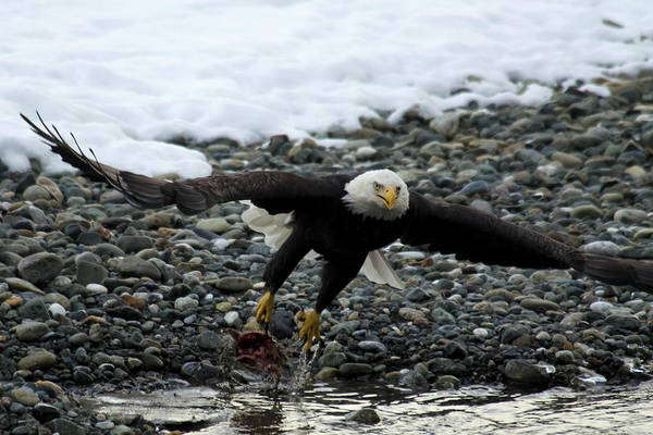 Taking Off Photograph - Bald Eagle Taking Off From River by Mark Newman