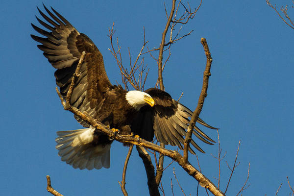 Photograph - Bald Eagle Touching Down by Eleanor Abramson
