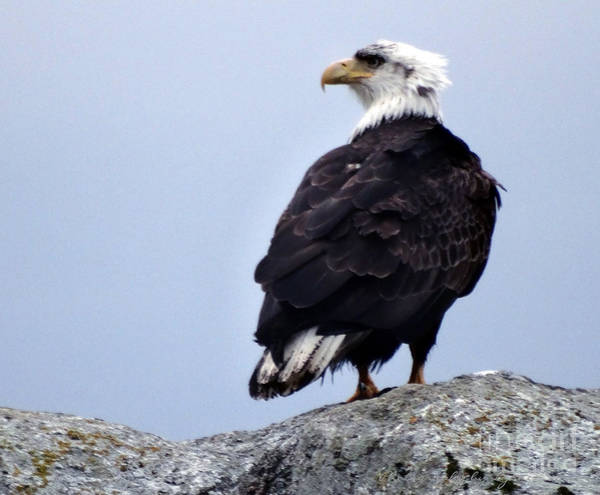 Photograph - Bald Eagle Watching by Gena Weiser