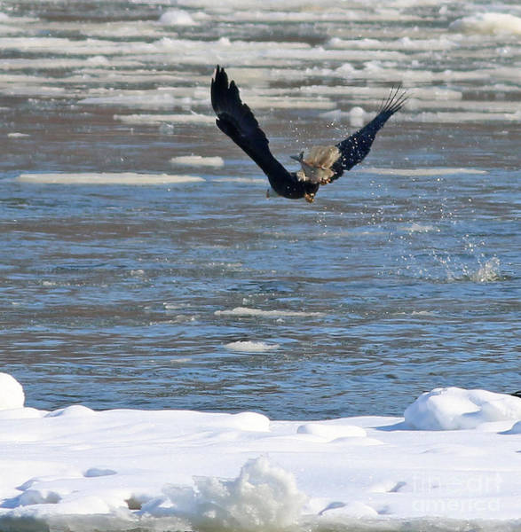 Wall Art - Photograph - Bald Eagle With Fish 9078 by Jack Schultz