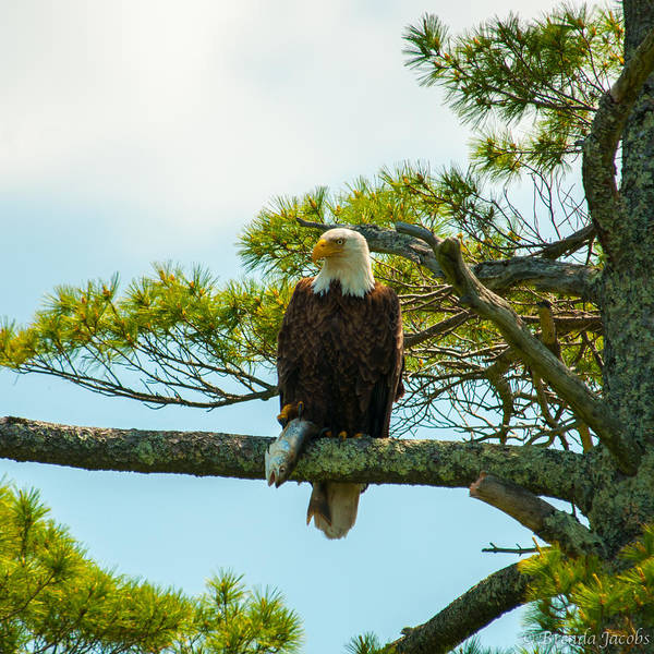 Photograph - Bald Eagle With Fish Catch by Brenda Jacobs