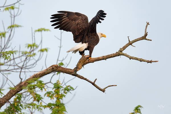 Wall Art - Photograph - Bald Eagle With Fish by Everet Regal