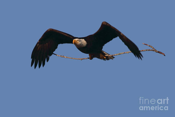 Photograph - Bald Eagle With Nesting Supplies by Meg Rousher