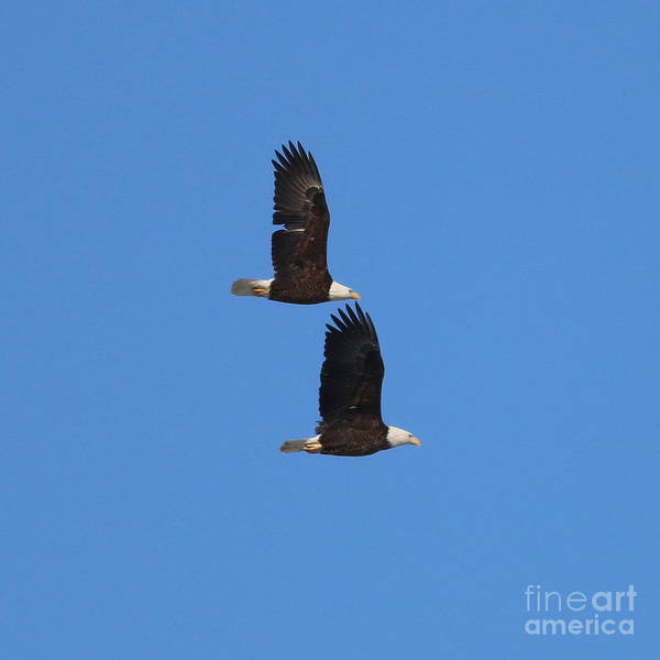 Wall Art - Photograph - Bald Eagles 8515 by Jack Schultz