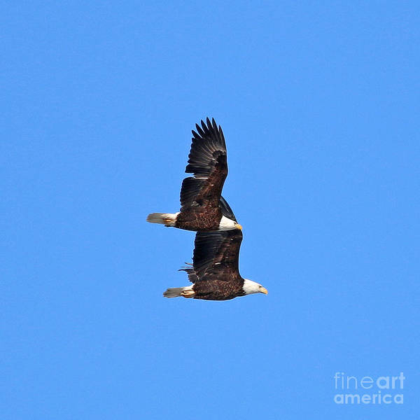 Wall Art - Photograph - Bald Eagles 8517 by Jack Schultz