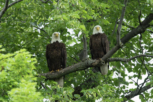 Haliaeetus Leucocephalus Photograph - Bald Eagles by Dr P. Marazzi/science Photo Library