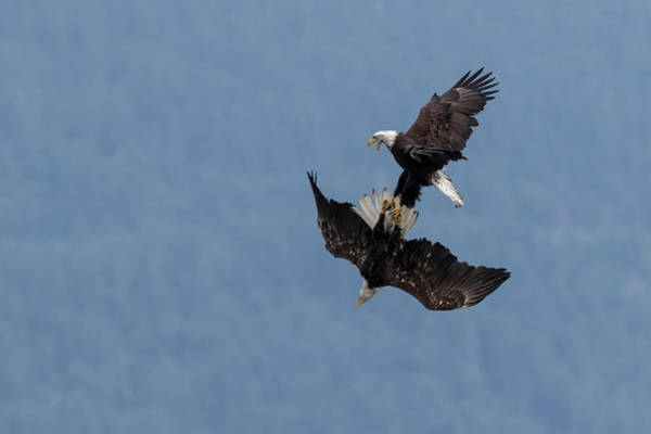 Courtship Photograph - Bald Eagles Fighting by Ken Archer