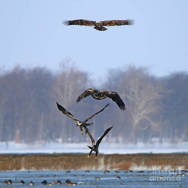 Wall Art - Photograph - Bald Eagles Flying Into The Wind At Providence Dam  9276 by Jack Schultz