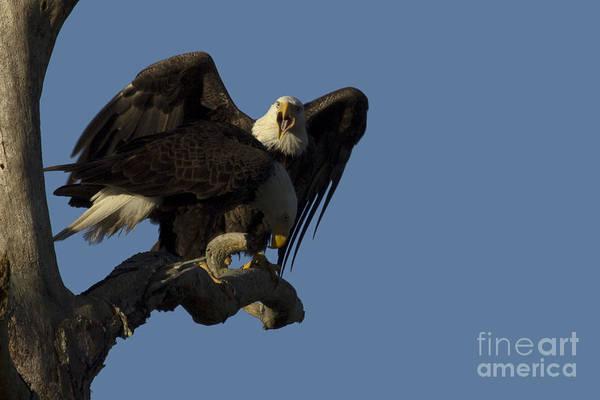 Photograph - Bald Eagles Photo by Meg Rousher