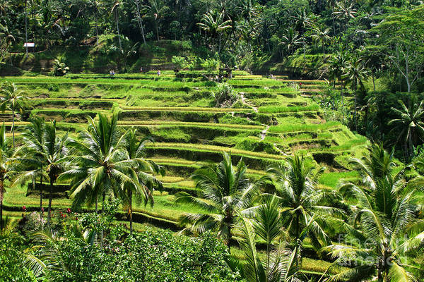 Rice Photograph - Balinese Dream by Lars Ruecker