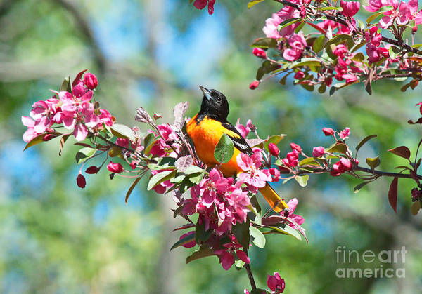 Photograph - Balitmore Oriole And Apple Blossoms by Andrea Kollo