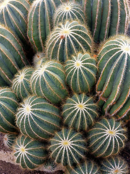Ball Cactus (parodia Magnifica) Art Print by Daniel Sambraus/science Photo Library
