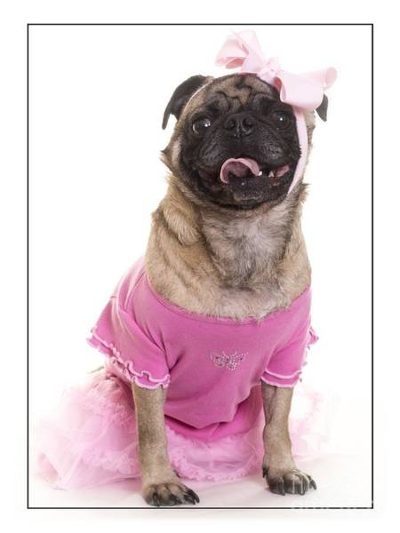 Pug Photograph - Ballerina Pug Dog by Edward Fielding