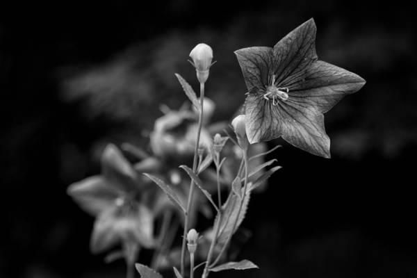 Photograph - Balloon Flower  by Ben Shields