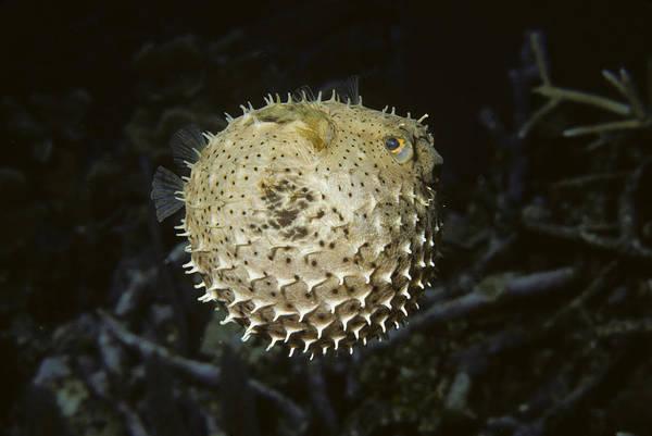 Diodon Photograph - Balloonfish by Andrew J. Martinez