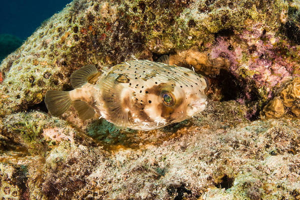 Diodon Photograph - Balloonfish, Bonaire by Andrew J. Martinez
