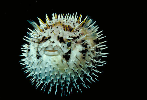 Balloonfish Photograph - Balloonfish by FREDERICK R McCONNAUGHEY