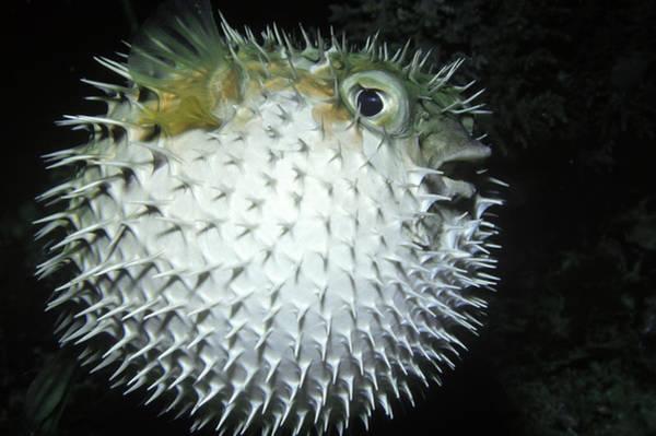 Diodon Photograph - Balloonfish by Greg Ochocki