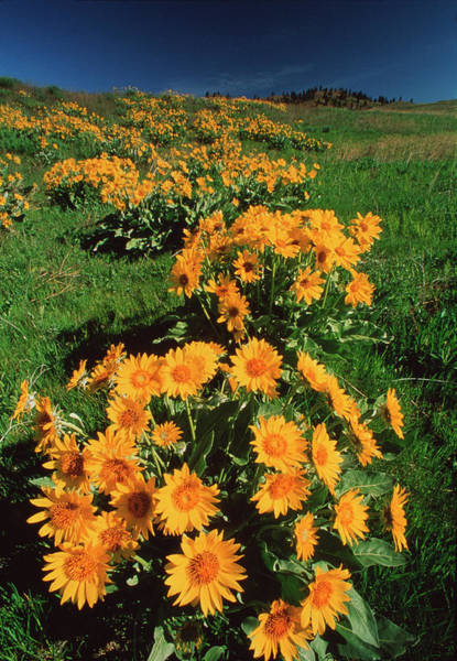 Okanagan Photograph - Balsam Root Flowers by David Nunuk/science Photo Library