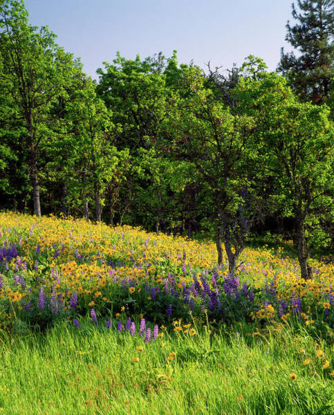 Nature Conservancy Photograph - Balsamroot And Lupine Flowers Blooming by Panoramic Images