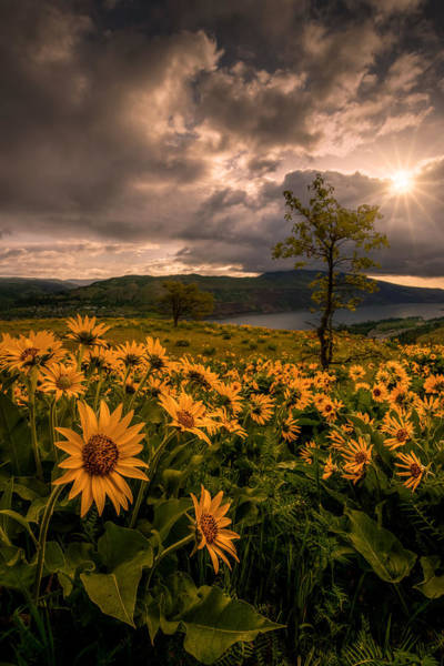 Rowena Photograph - Balsamroot Heaven by Dan Mihai