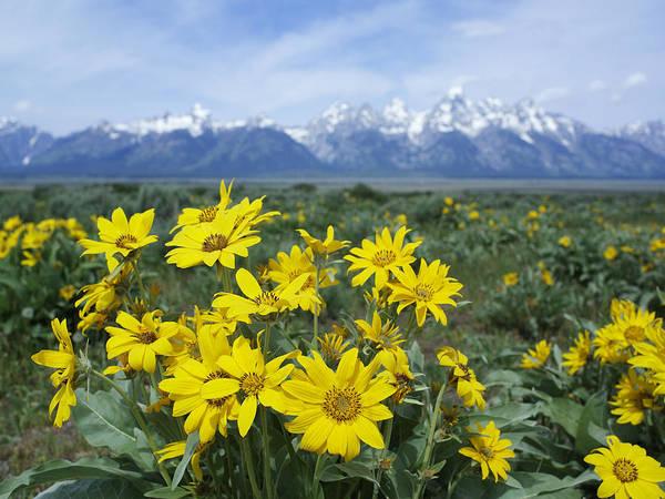Balsamorhiza Sagittata Photograph - Balsamroot Sunflower Patch Grand Teton by Tim Fitzharris