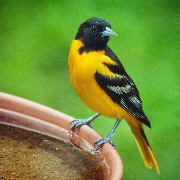 Bird Photograph - Baltimore Oriole  by Heidi Hermes