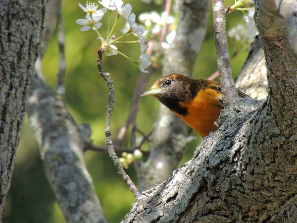 Photograph - Baltimore Oriole Female by Kimberly Perry