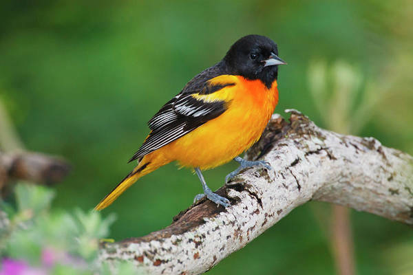 Oriole Photograph - Baltimore Oriole Foraging by Larry Ditto