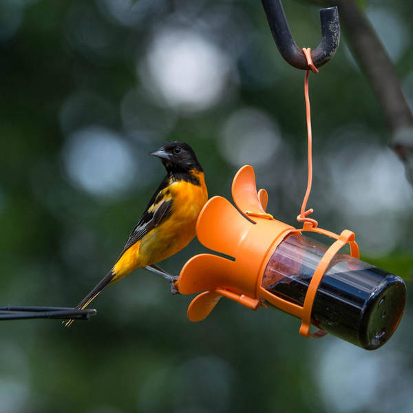 Photograph - Baltimore Oriole by Guy Whiteley