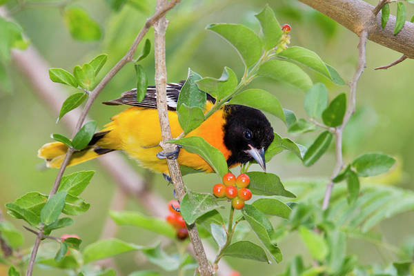 Oriole Photograph - Baltimore Oriole (icterus Galbula by Larry Ditto