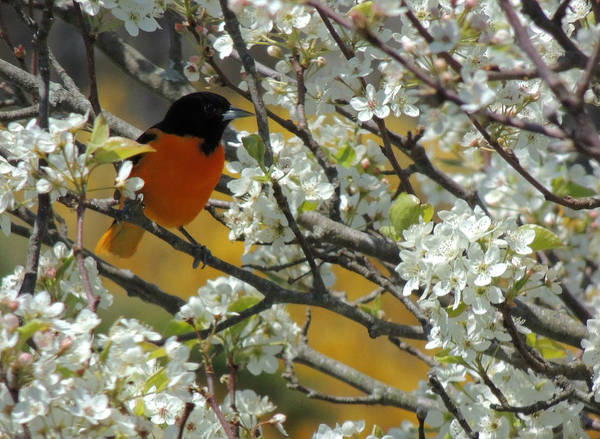 Photograph - Baltimore Oriole Male by Kimberly Perry