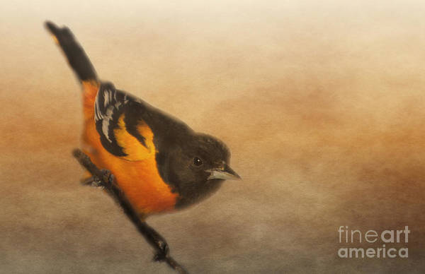 Photograph - Baltimore Oriole by Pam  Holdsworth