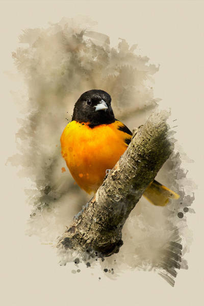 Mixed Media - Baltimore Oriole Watercolor Art by Christina Rollo