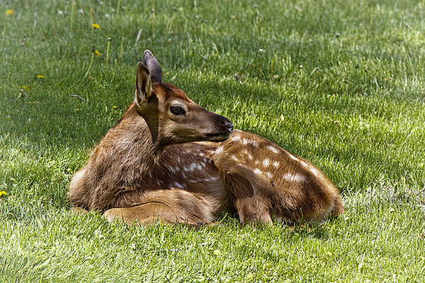 Photograph - Bambi by Wes and Dotty Weber