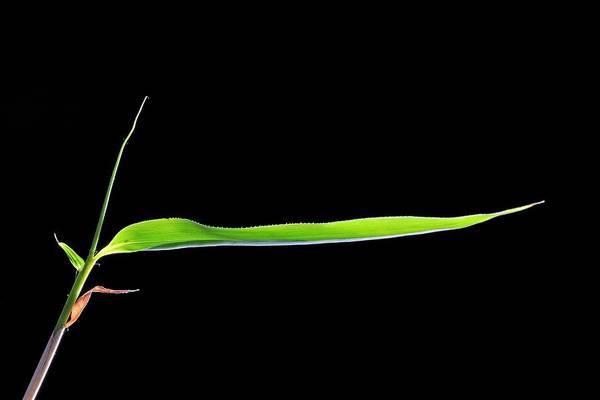Bamboo Shoots Photograph - Bamboo (bambusa Sp.) Shoot by Bildagentur-online/mcphoto-schulz