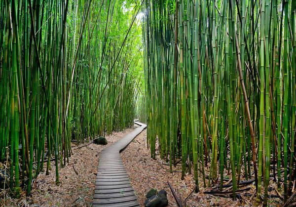 Bamboo Photograph - Bamboo Brilliance by Sean Davey